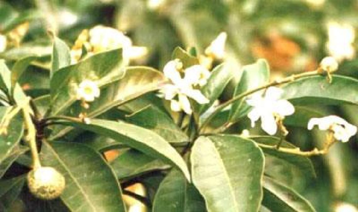 Voacanga: an African plant to cure Alzheimer's and Parkison's disease?