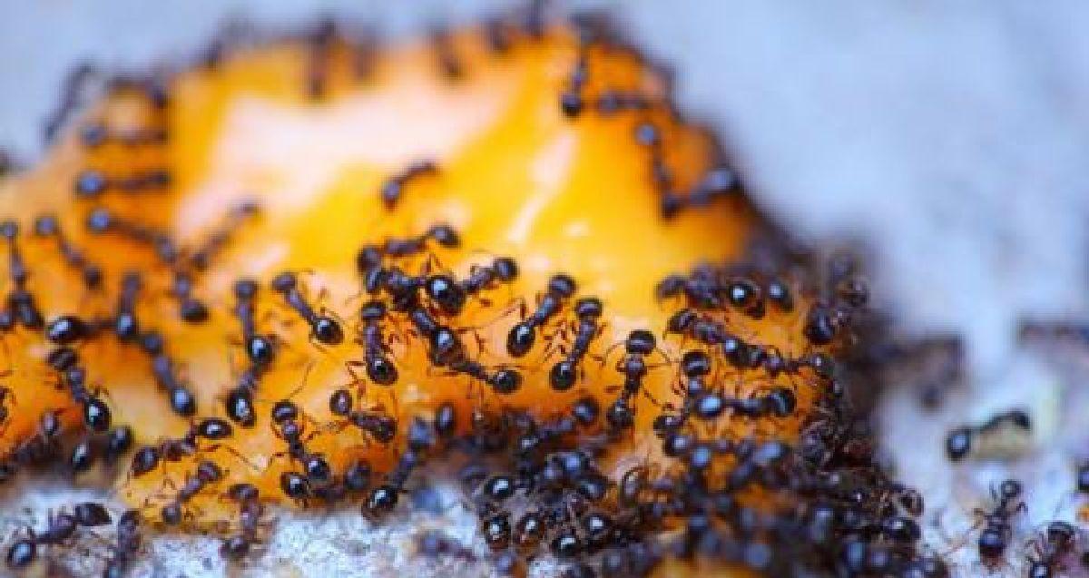 voici comment se d barrasser des fourmis une fois et pour. Black Bedroom Furniture Sets. Home Design Ideas
