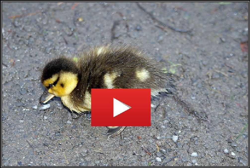 Thanks to a trick, he will save this baby duck!