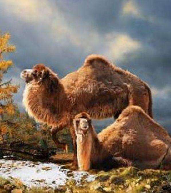 Il y a 3,5 millions d'années, on trouvait une sorte de chameau géant dans l'Arctique canadien.