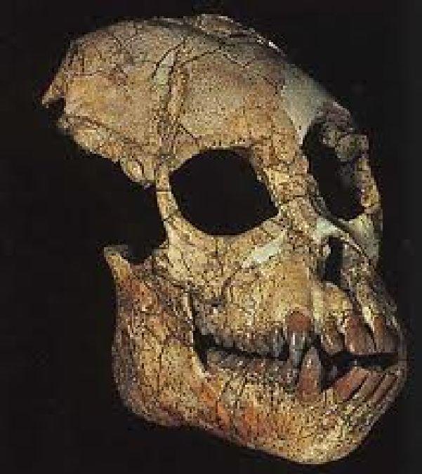Un crâne de grand singe fossile trouvé en Chine!