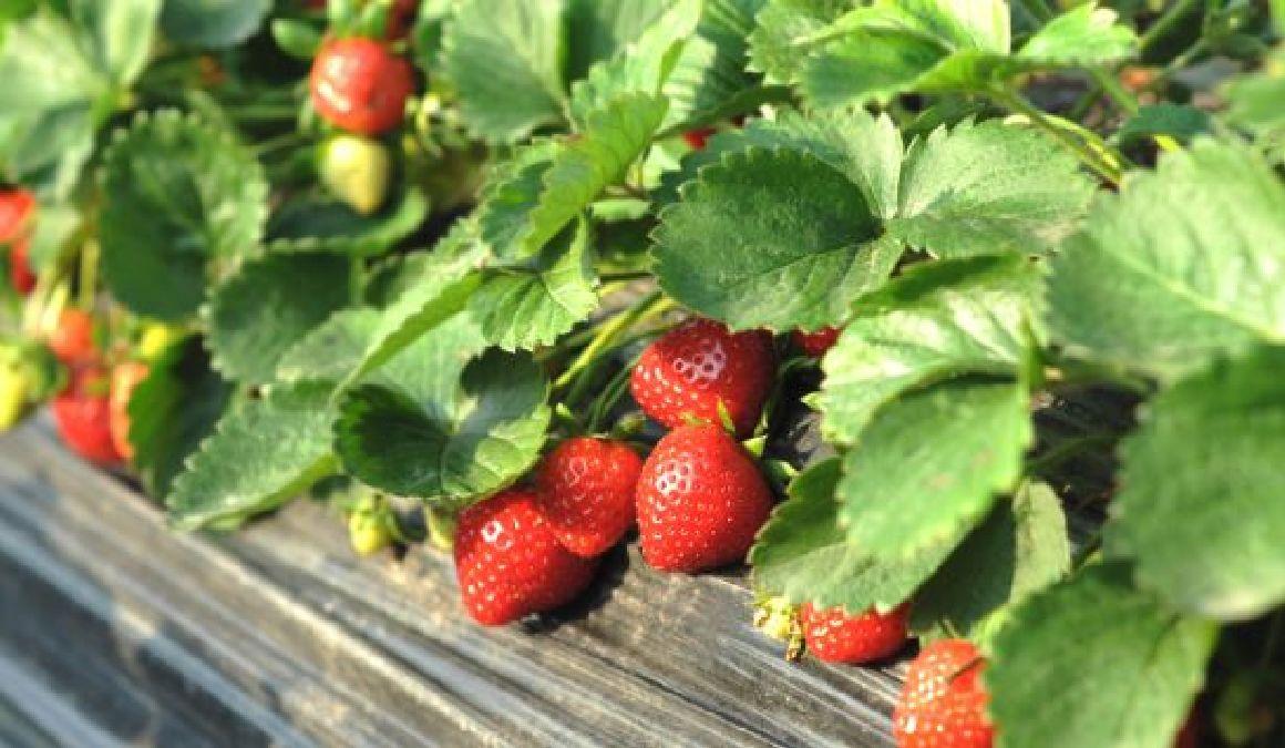 Les deux aliments les plus touchés par les pesticides !