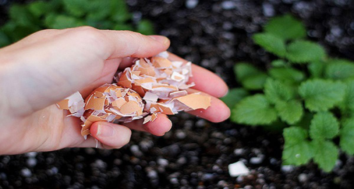Pourquoi vous devriez mettre les coquilles d oeufs dans votre jardin - Quand mettre du fumier dans son jardin ...