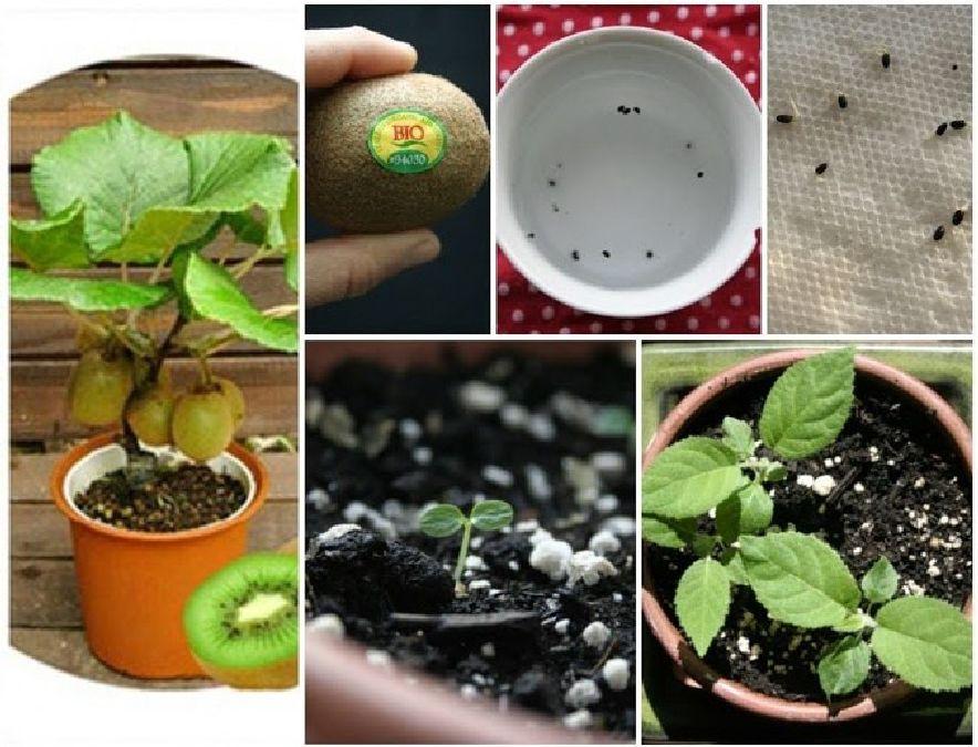 comment planter un kiwi