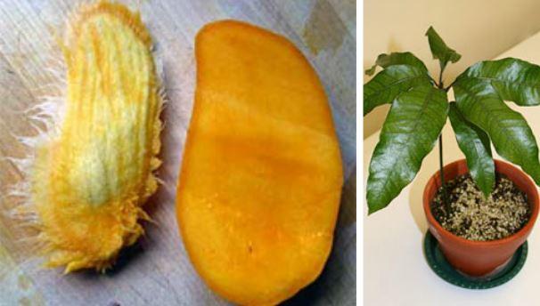 How to Grow a Mango