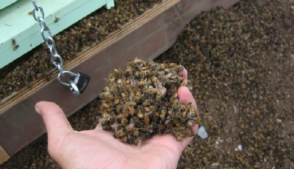 Au Canada 37 millions d'abeilles retrouvées mortes ! Pourquoi ?