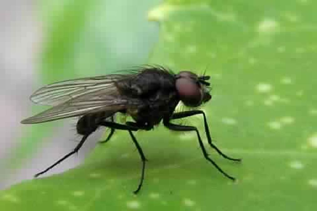 How to Get Rid of Flies Naturally?