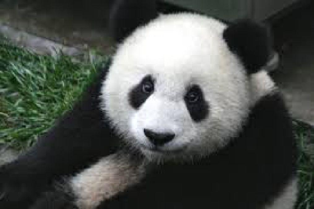 La chaîne télé des pandas en Chine!