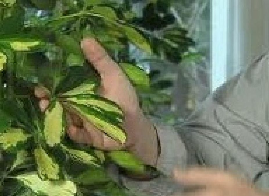 Comment on peut éliminer les pucerons de vos plantes?
