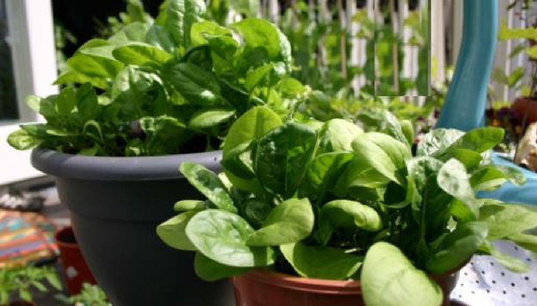 Des légumes que vous pouvez très facilement faire pousser dans un pot chez vous
