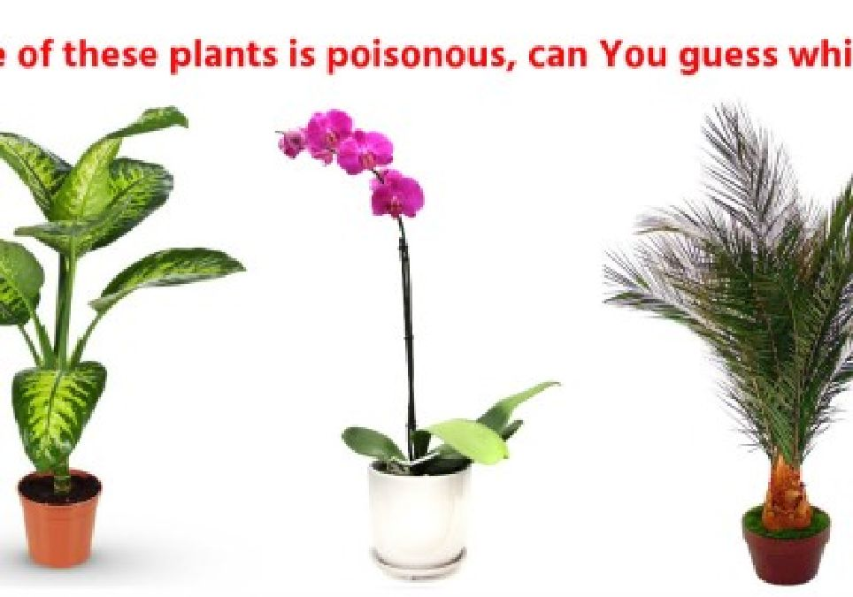 Il faut absolument éliminer cette plante toxique de chez vous !