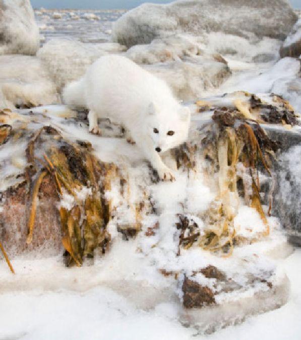 Le renard polaire, un animal fascinant qui résiste au froid glacial de l'Arctique