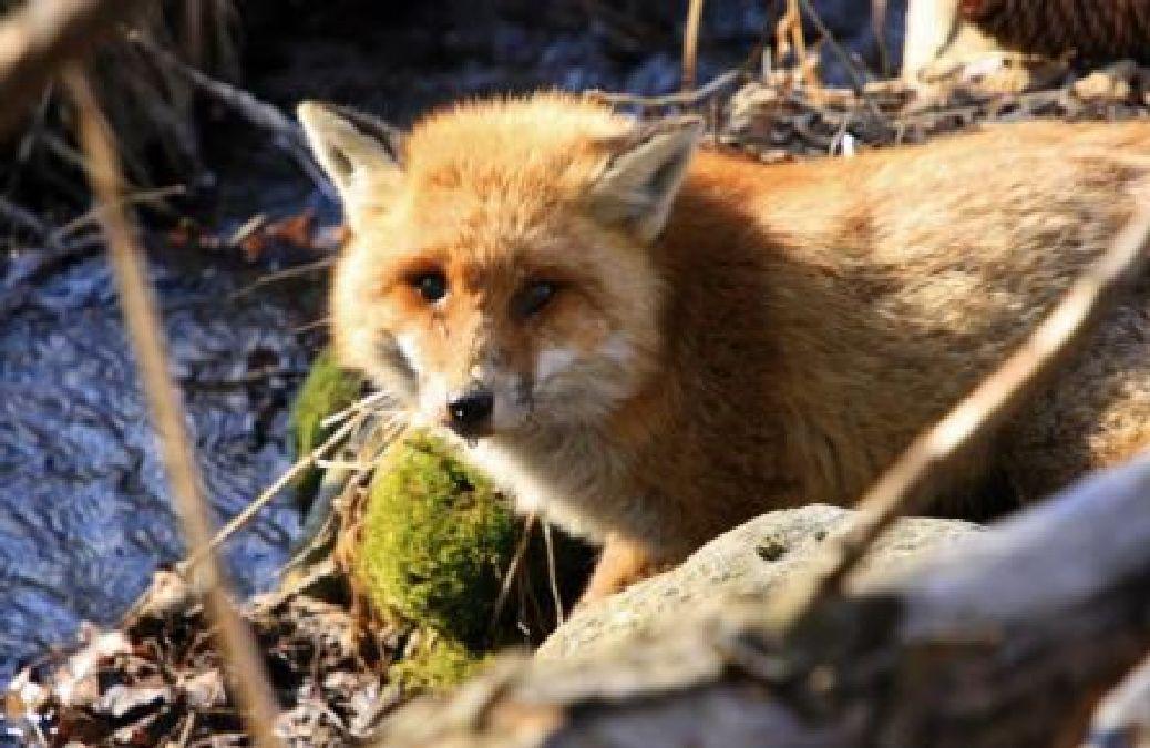 Victoire pour la nature et les amis des bêtes : Retiré de la liste des nuisibles Il est désormais interdit de chasser le renard