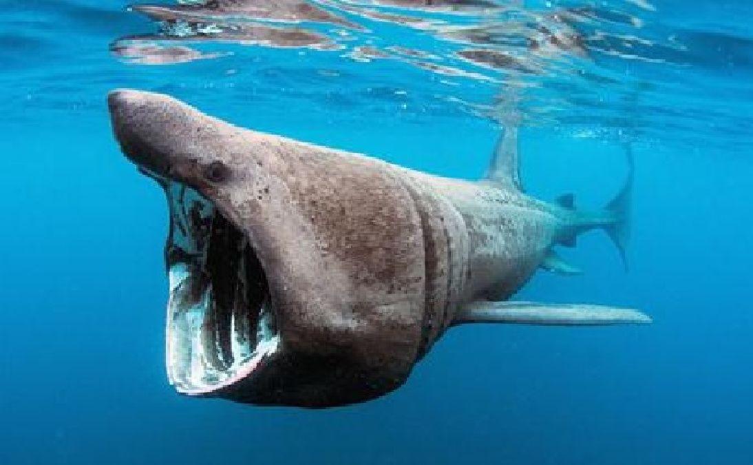 Que vient faire le requin pèlerin  en mer du Nord
