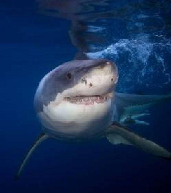 Un nouvel ancêtre remet en question les origines du requin blanc