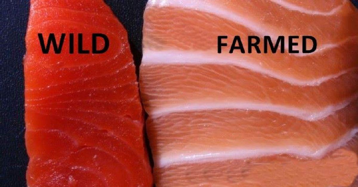 「saumon sauvage elevage」的圖片搜尋結果