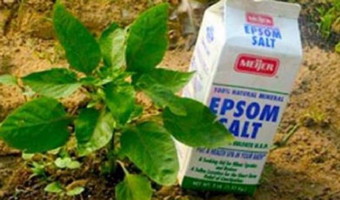 Ou trouver du sel d epsom pour le jardin design de maison - Sel epsom jardin ...
