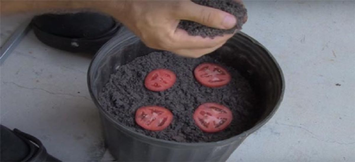 Il met 4 tranches de tomates dans un compost. Découvrez ce qui se passe 10 jours plus tard !